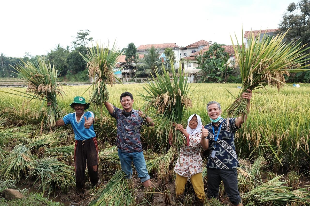 Gunakan Pupuk Non Subsidi, Petani Binaan Pupuk Kujang Panen 10 Ton Per Hektare
